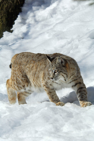 Bobcat(Lynx-rufus)-34