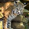 Bobcat-WVSWC2012-01