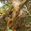 FoxSquirrel-2008-08