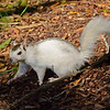 WhiteSquirrel-BrevardNC-11-3-18-SJS-21