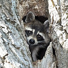 Raccoon-MM-5-16-17-SJS-006