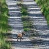 Coyote-PiedmontNWR-GrayGA-9-3-19-SJS-006