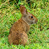 MarshRabbit-LYE-8-22-18-SJS-002