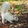 WhiteSquirrel-BrevardNC-11-3-18-SJS-02