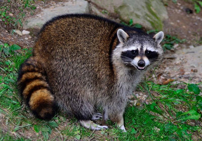 WVSWC-Raccoon-03