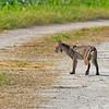 Bobcat-LAWD-7-6-19-SJS-001