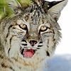 Bobcat(Lynx-rufus)-17