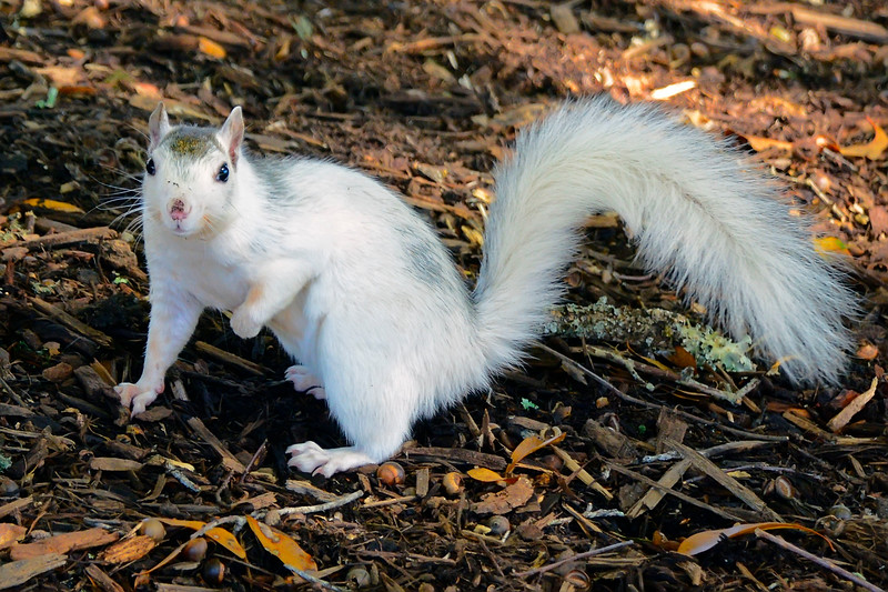 WhiteSquirrel-BrevardNC-11-3-18-SJS-54