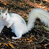 WhiteSquirrel-BrevardNC-11-3-18-SJS-54