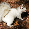 WhiteSquirrel-BrevardNC-11-3-18-SJS-31