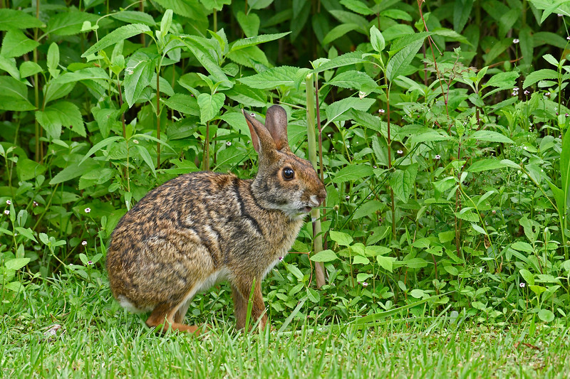 EasternCottontail-Alabama-6-18-18-SJS-009
