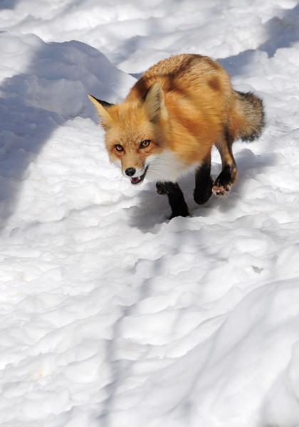 RedFox(Vulpes-vulpes)-03