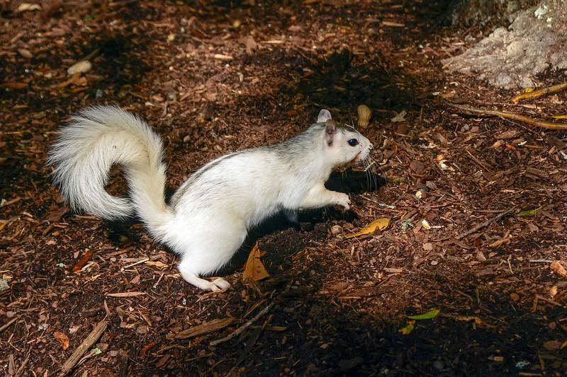 WhiteSquirrel-BrevardNC-11-3-18-SJS-34