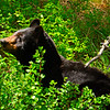 BlackBearYellowstoneNP-2016-sjs-004