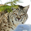 Bobcat(Lynx-rufus)-16