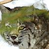 Bobcat(Lynx-rufus)-22