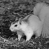 WhiteSquirrel-BrevardNC-11-3-18-SJS-18
