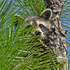 Raccoon-OcalaNF-FL-7-31-18-SJS-001