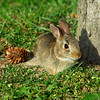 EasternCottontail506-02