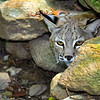 Bobcat-WVSWC2012-05