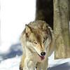 GrayWolf(Canis-lupus)-07