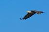 AmericanBaldEagle-LakeCoFl-1-2-17-SJS-017