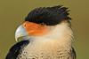 Caracara-AvianReconditioningCenterFL-11-11-17-SJS-001