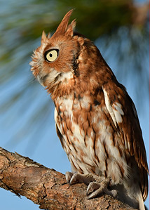 ScreechOwl-AvianReconditioningCenterFL-11-11-17-SJS-006