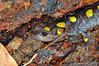 SpottedSalamander-KanawhaStateForest-08
