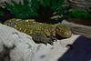 CrocodileMonitorCentralFloridaZooFL-2016-SJS-008