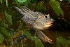 Alligator-GatorlandOrlandoFL-4-13-17-SJS-001