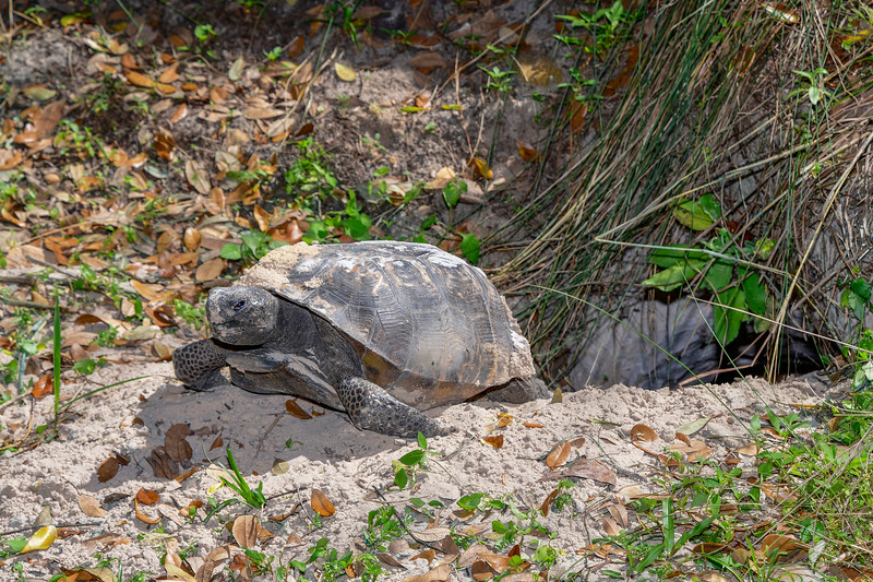 GopherTortoise-OaklandNaturePreserve-2-25-19-SJS-001