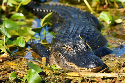 Alligator-OrlandoWetlandsFl-11-26-17-SJS-001