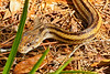 YellowRatSnake-LYE-9-24-18-SJS-007
