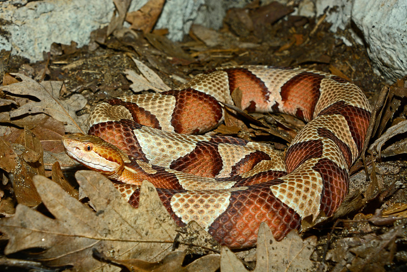 NorthernCopperhead-2015-002