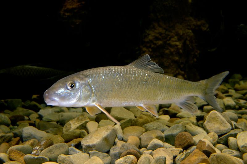 Fallfish-002