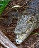 MuggerCrocodile-StAugGatorFarm-FL-8-13-19-SJS-001