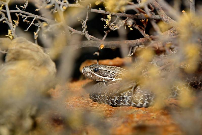 DesertMassasauga-AZ-2015-001