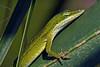 GreenAnole-CorkscrewSwampNaplesFL-11-18-17-SJS-001
