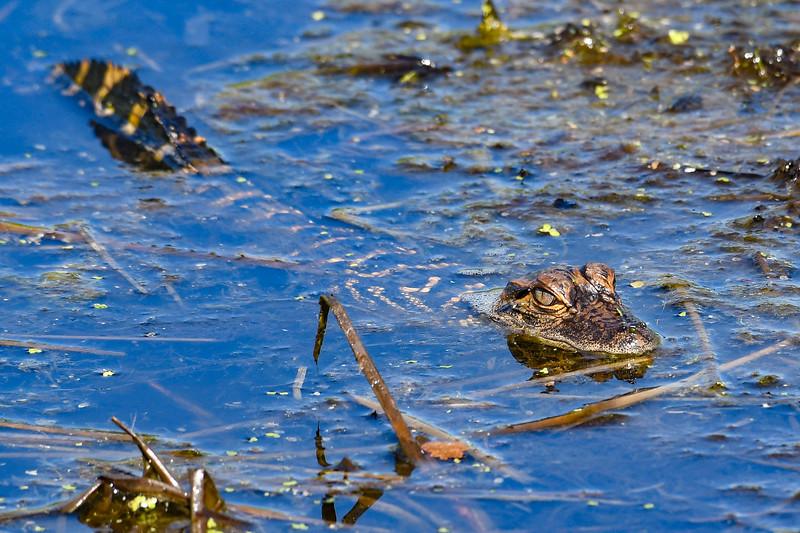 Alligator-SunnyhillRestorationArea-4-30-20-SJS-07