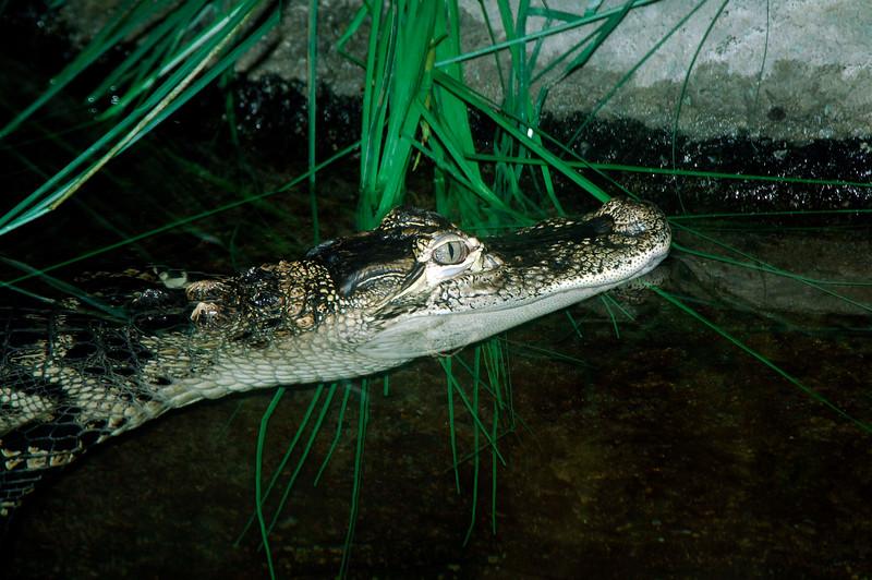 Crocodile-01