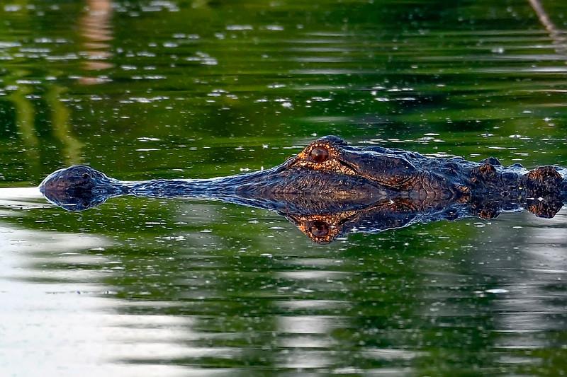 Alligator-LAWD-3-10-19-SJS-008