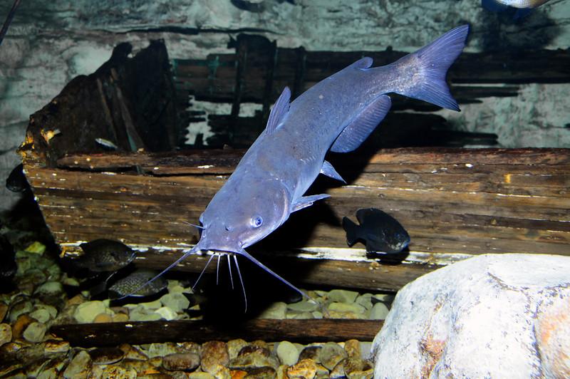 BlueCatfish-004