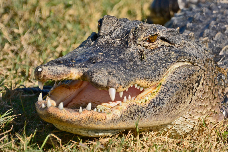 Alligator-Injured-LAWD-FL-3-19-17-SJS-005