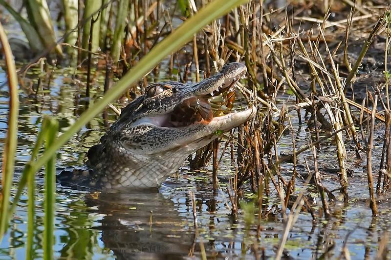 Alligator&Crawfish-LAWD-8-3-18-SJS-001