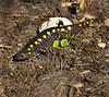 spottedsalamander-02