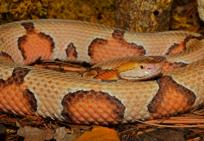SouthernCopperheadCentralFloridaZooFL-2016-SJS-001