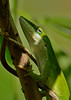 GreenAnole-OaklandNaturePreserve-FL-2-28-17-SJS-003