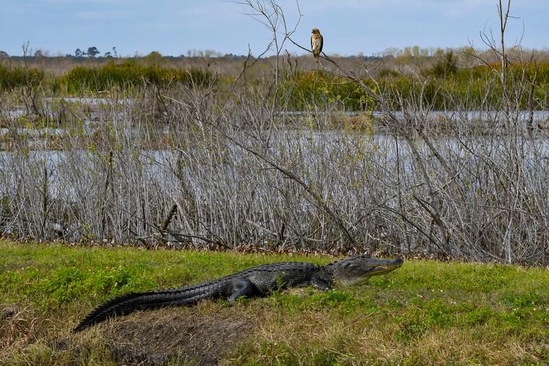 RedShoulderedHawk-Alligator-LAWD-2-1-19-SJS-002