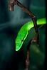 GreenVineSnake-03